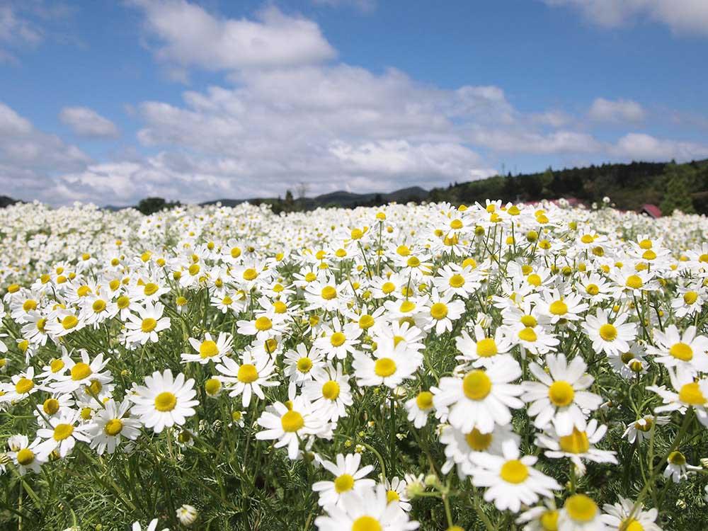 メナード青山リゾート ハーブガーデンのカモミール畑