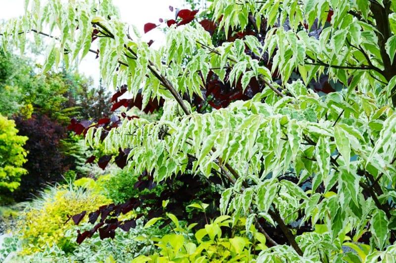 カラーリーフ落葉樹