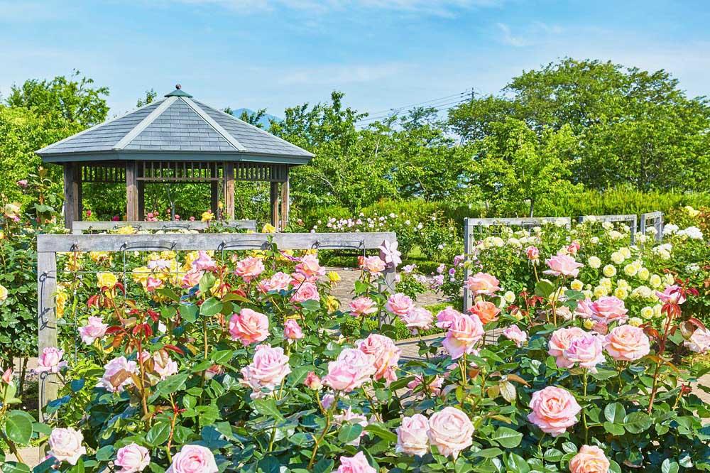花菜ガーデンのバラ園 香りのバラ