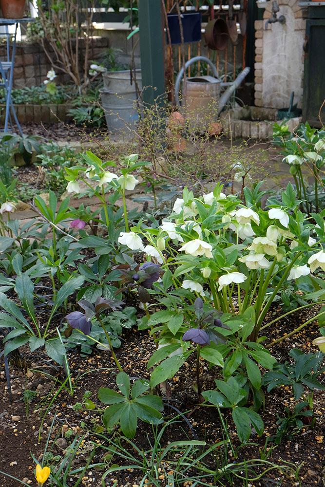 クリスマスローズの咲く庭