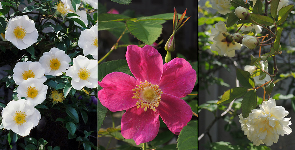 ベランダガーデンの早咲きのバラ