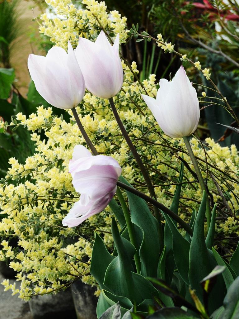 チューリップ シルバークラウドの植栽