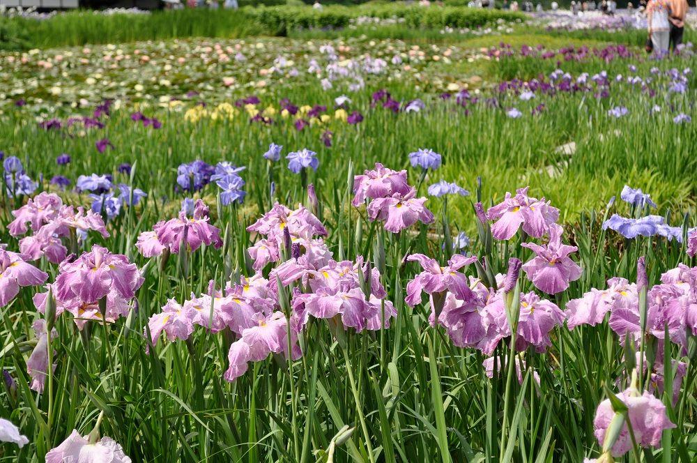 加茂花菖蒲園のハナショウブ