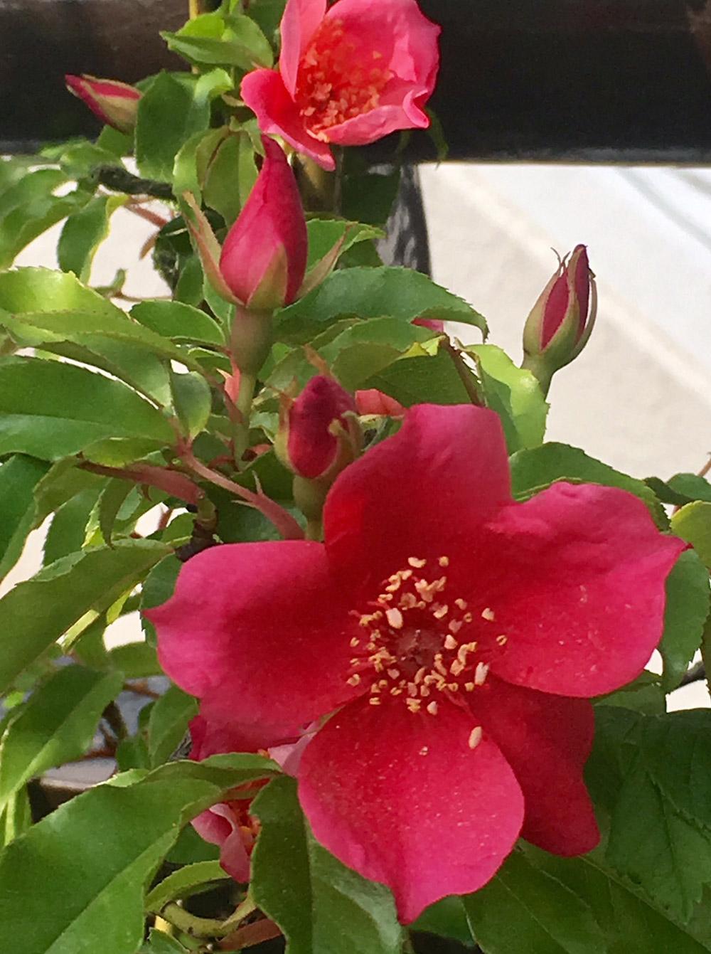 ロサ・キネンシス・スポンタネア(Rosa chinensis var. spontanea. )