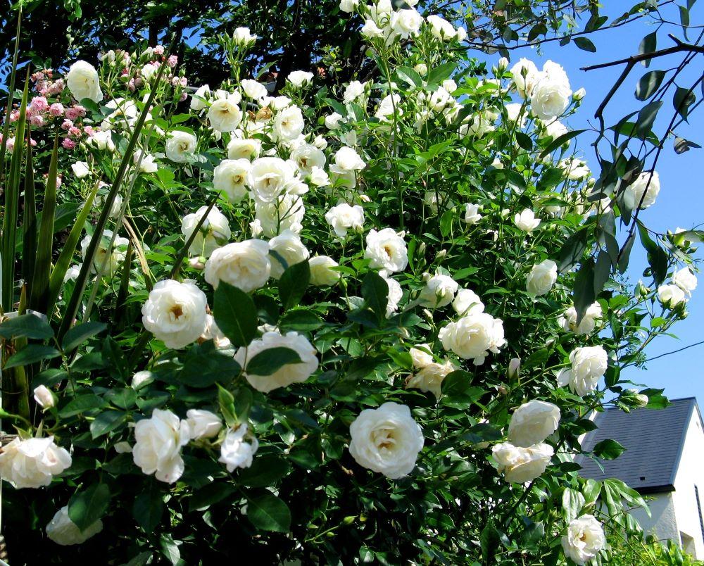 白バラ'アイスバーグ'