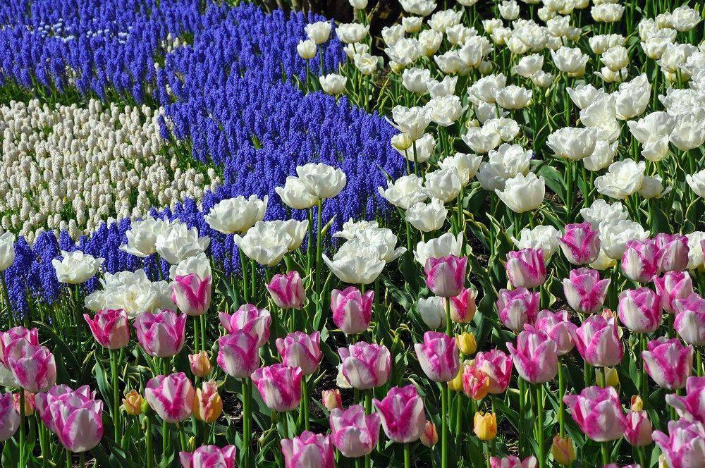 チューリップの花景色