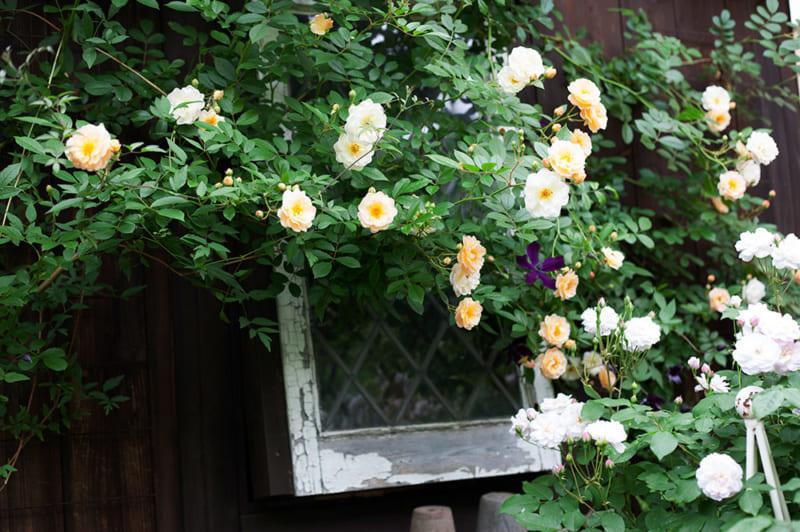 庭を彩るつるバラ