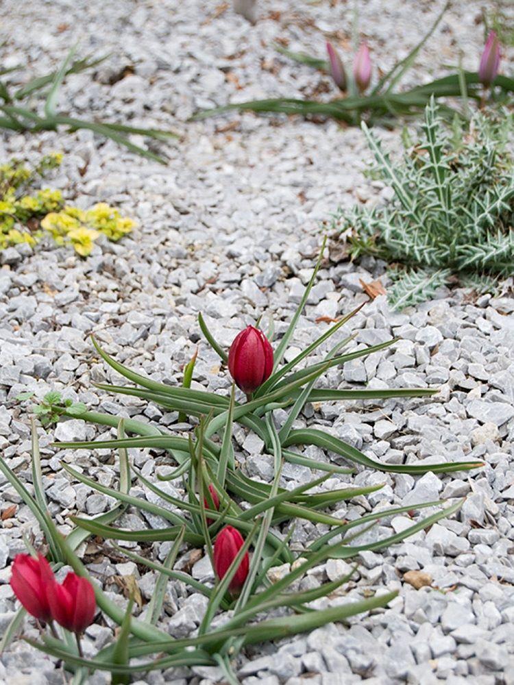 小型の原種系チューリップ・フミリス 'リリパットの植栽