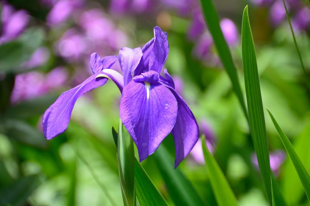 カキツバタの花