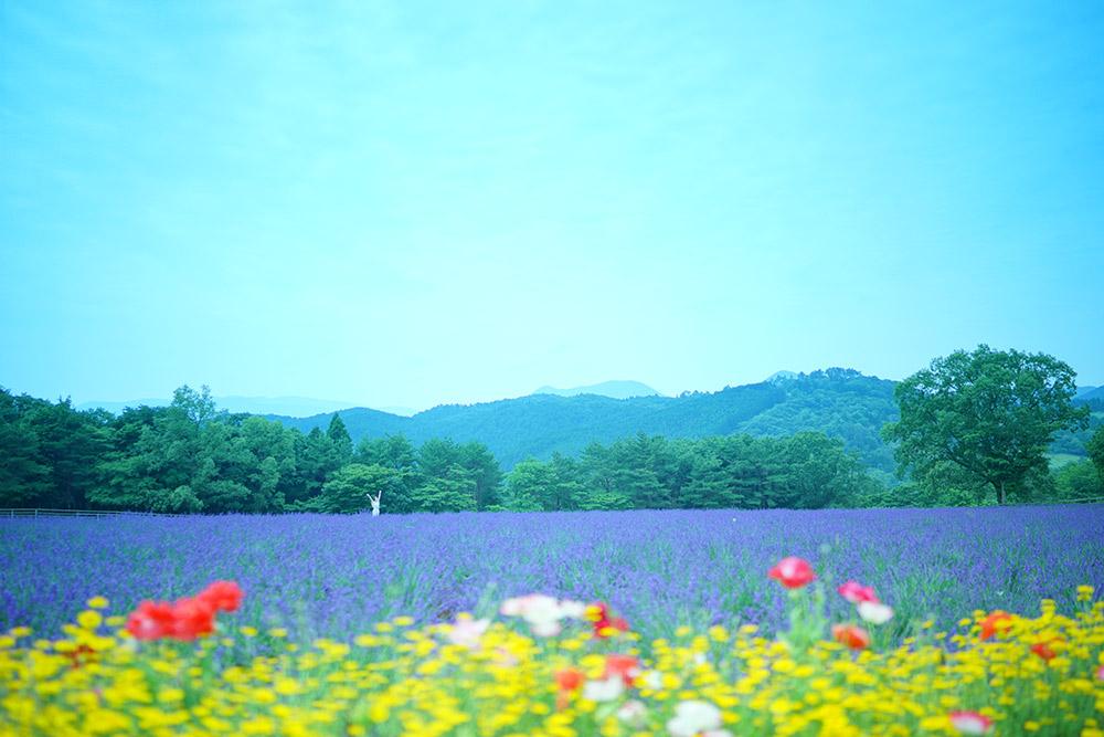 メナード青山リゾート ハーブガーデン ラベンダー畑