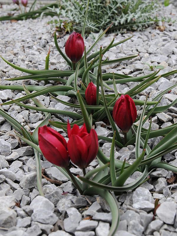 原種系チューリップの植栽