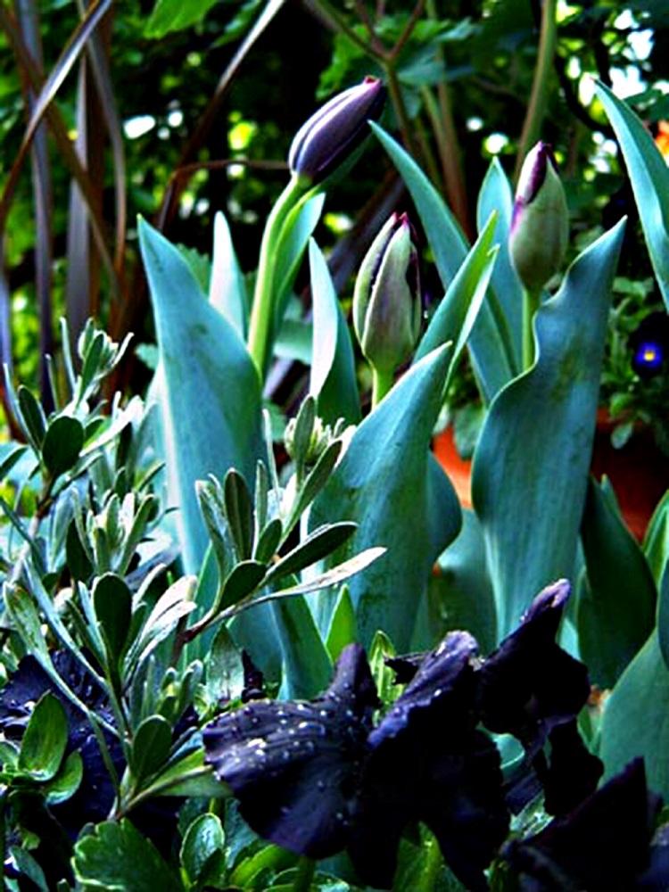 黒花チューリップ'クイーンオブナイト'とビオラ