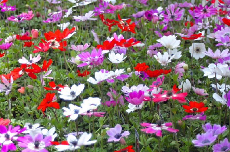 春咲くアネモネ・フルゲンス