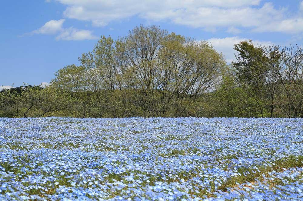 「Flower village 花夢の里」ネモフィラの花畑
