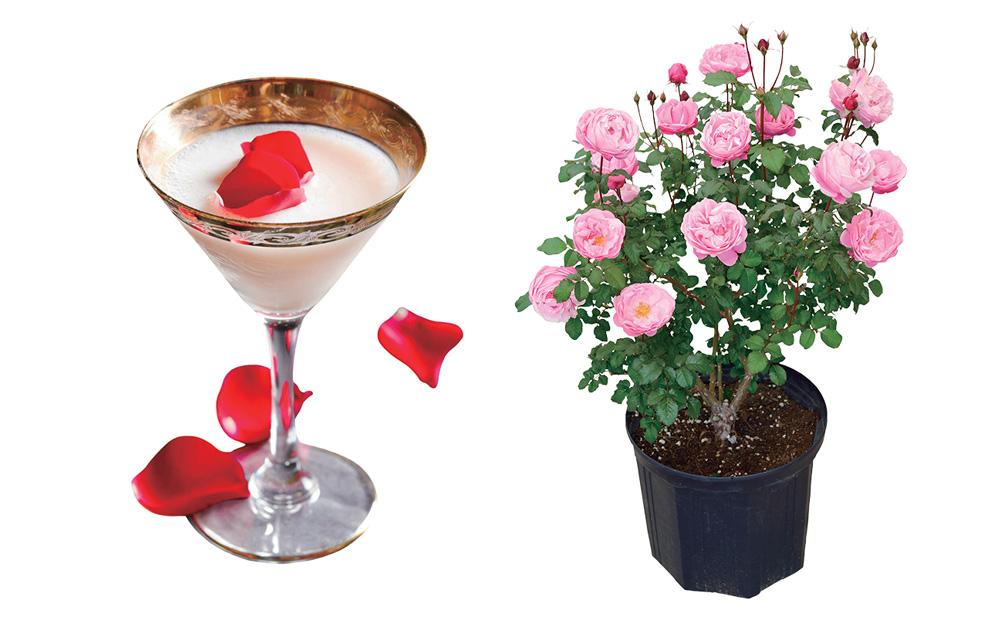 バラのカクテルとバラ苗も販売