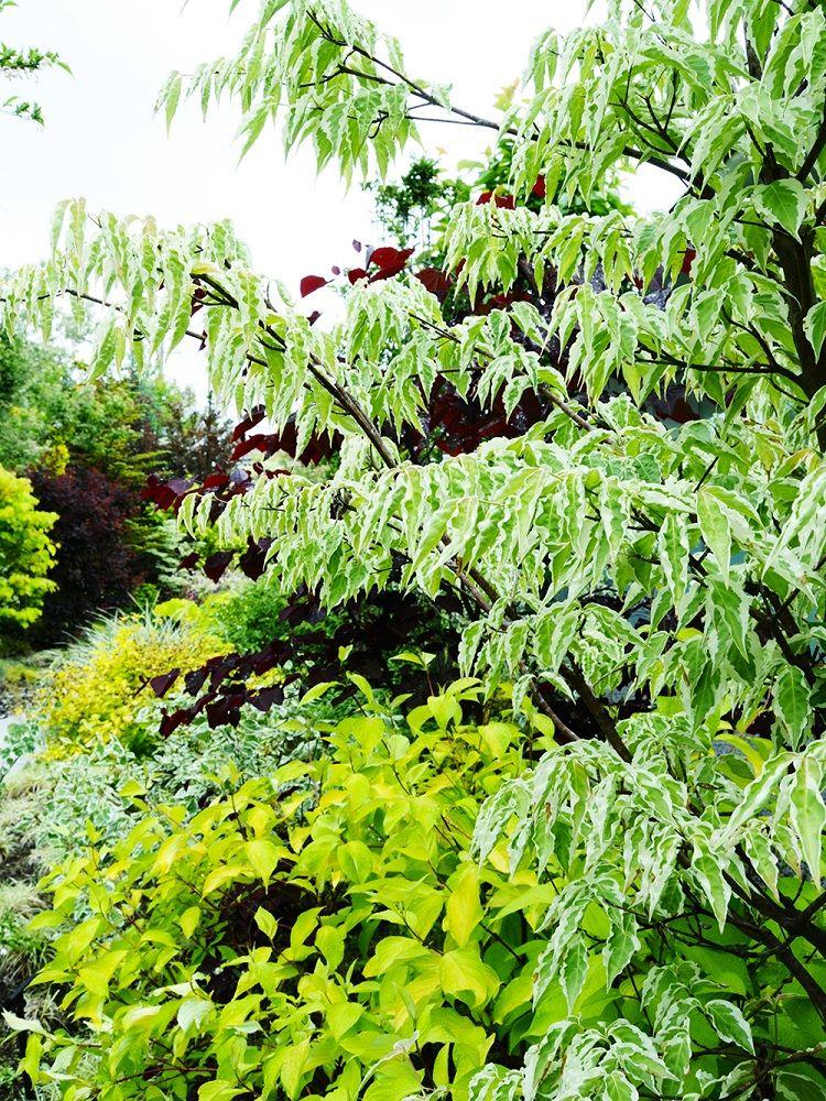 ヤマボウシの斑入り品種 'ウルフアイ'の植栽