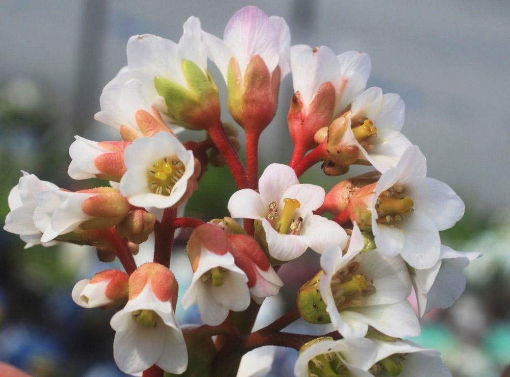 春咲くヒマラヤユキノシタ'ブレッシングハム・ホワイト'