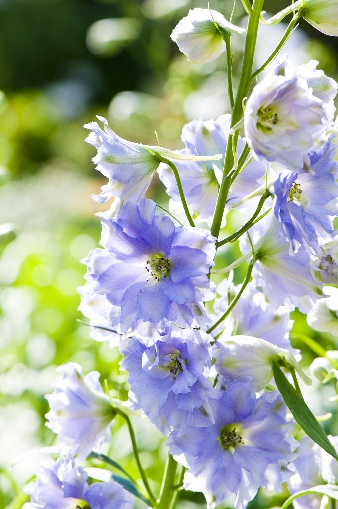 淡いブルーのデルフィニウムの花