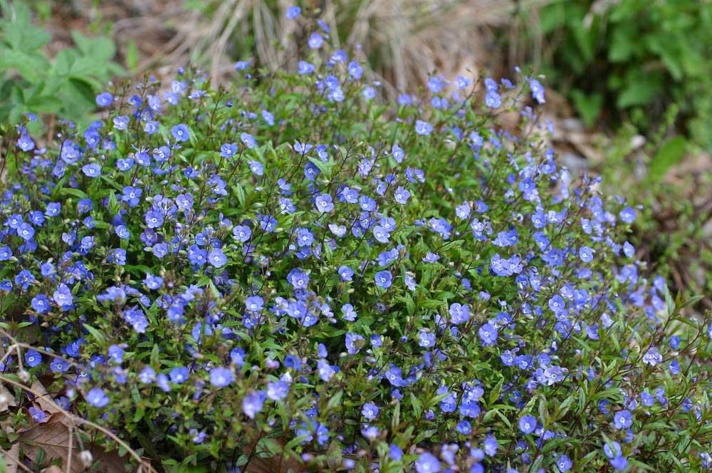 春咲くベロニカ 'オックスフォードブルー'