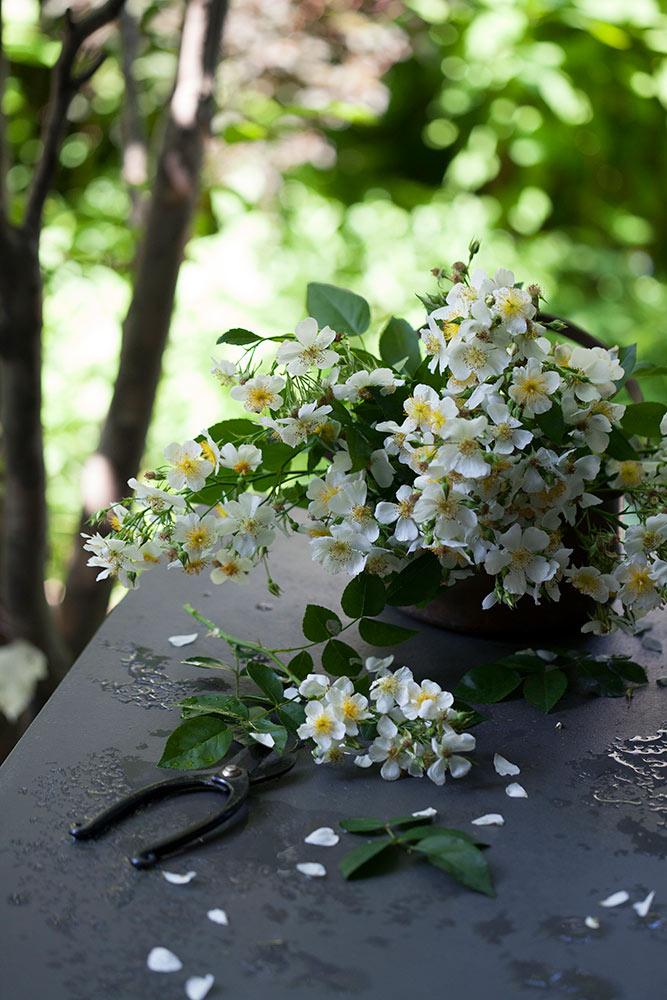 原種系つるバラロサ・フィリペス'キフツゲート'の花束