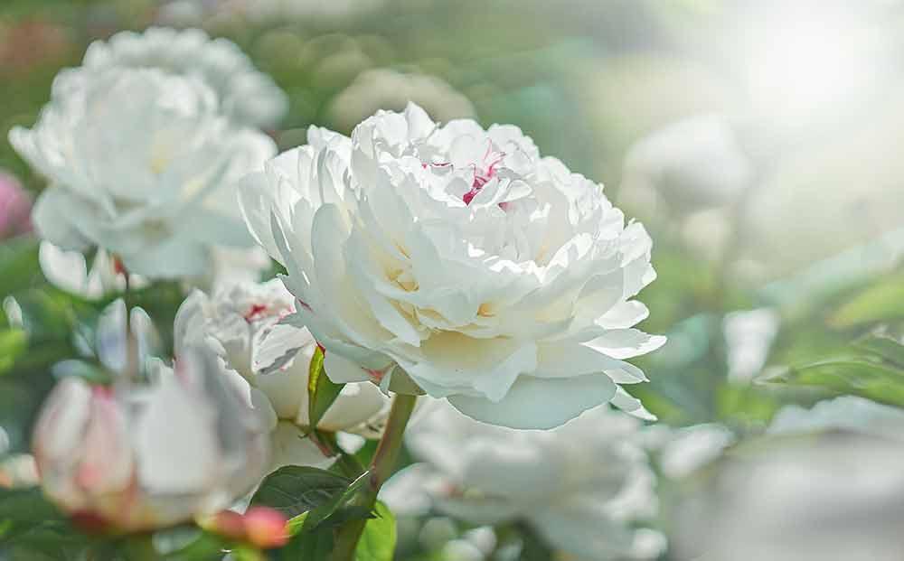 白いシャクヤクの花