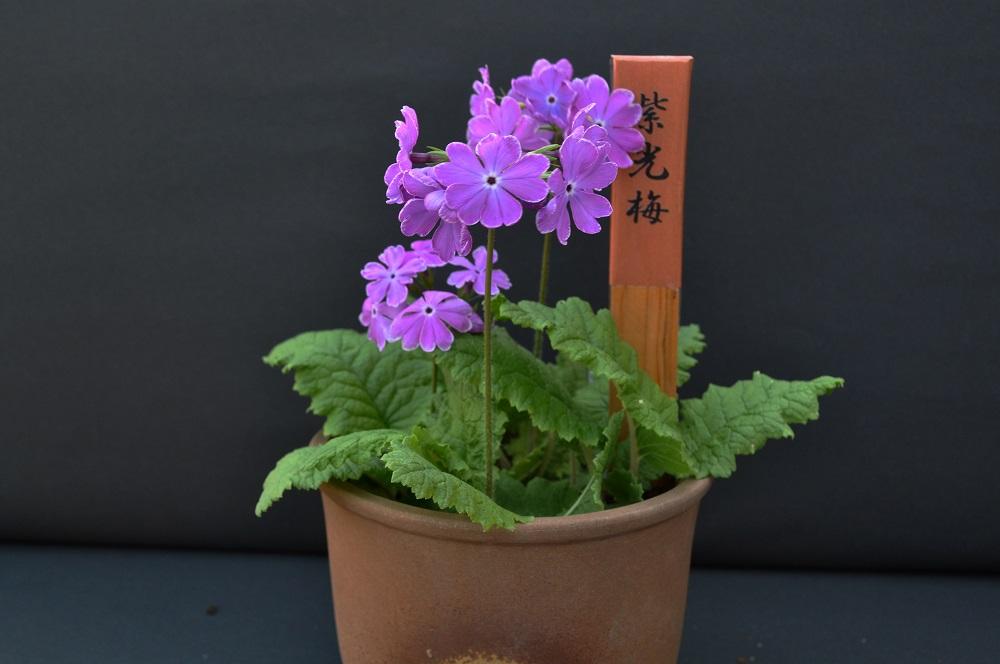 ニホンサクラソウ '紫光梅'