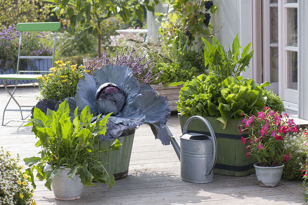 タンポポを家庭菜園