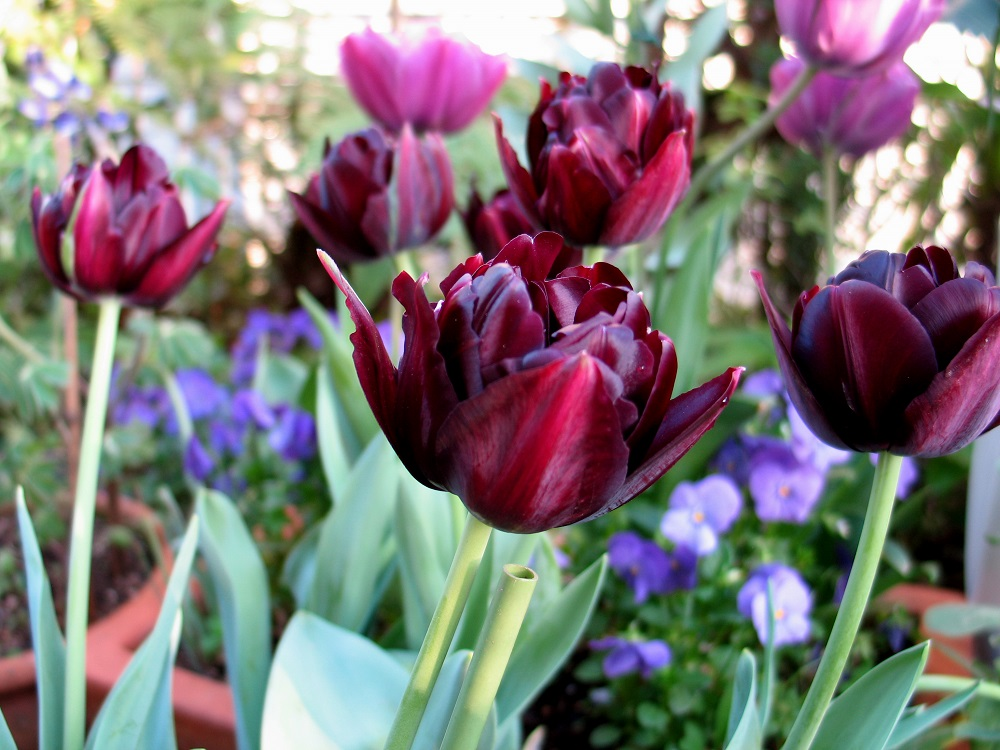 黒花のチューリップ