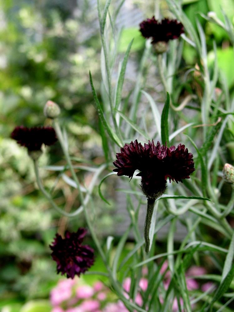 黒花ヤグルマギク