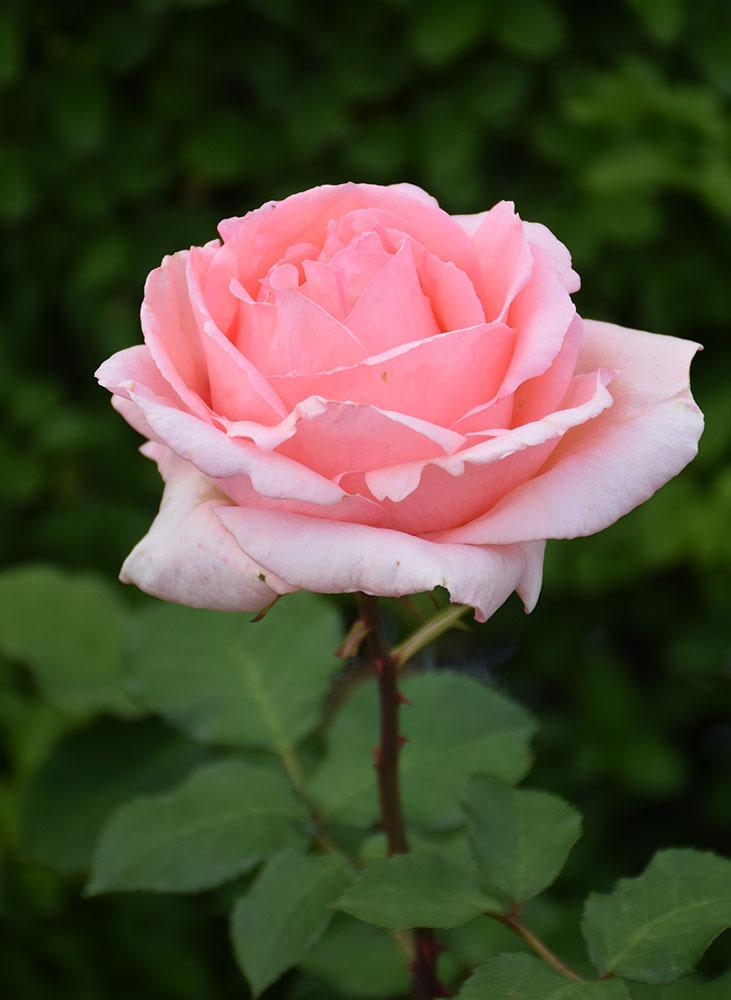 横浜のバラ はまみらい
