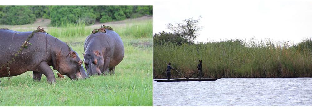 抽水直物の葦を食べるカバの周りには水鳥が集まる(左)。葦は大きく育つと現地の人々の生活資源としても利用される(右)。