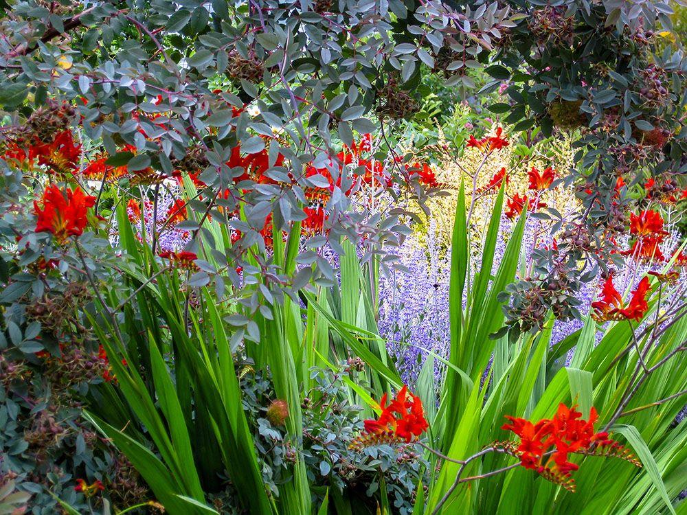 ロサ・グラウカの植栽例