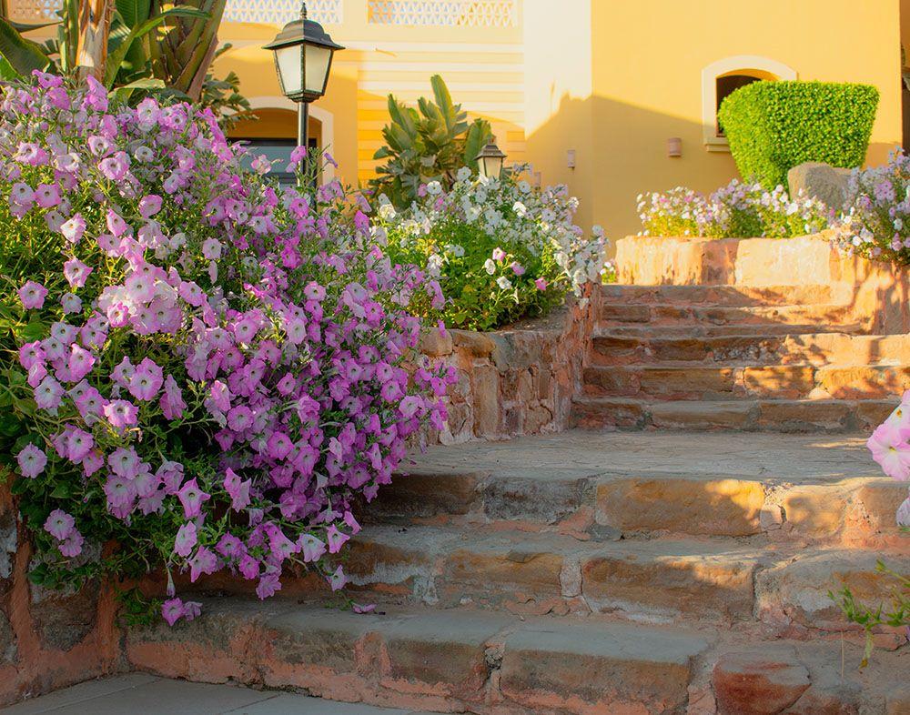 ペチュニアの花壇