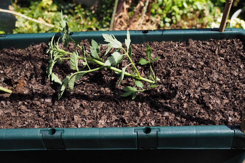 ミニトマトの植え方-根は崩さないように苗を逆さにして、そっとポットから出し、斜めにして植えつけます