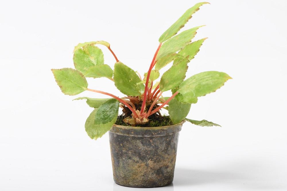 ベゴニア'タイニージェム'Begonia'Tiny Gem'