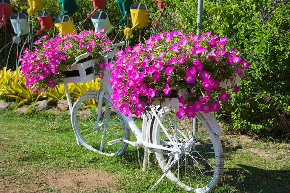 自転車を利用したペチュニアの寄せ植え