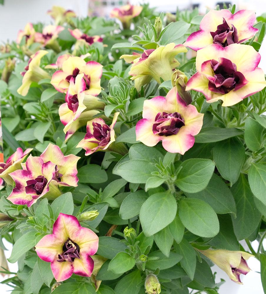 ペチュニアプレミアムコレクション'セミダブル・アプリコット'(発売/M&B Flora)