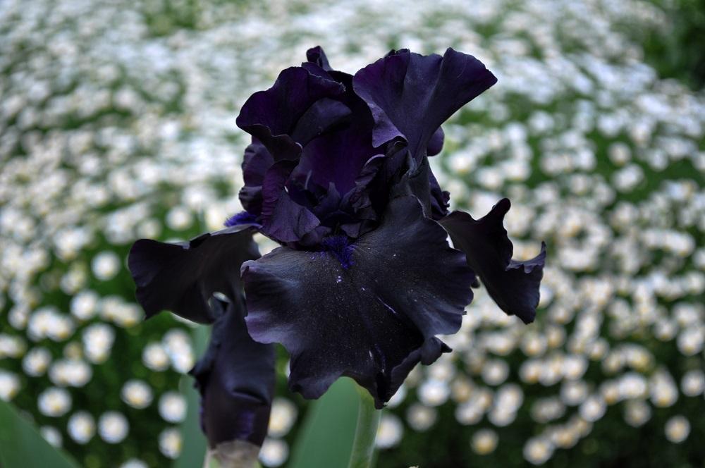 黒花のジャーマンアイリス