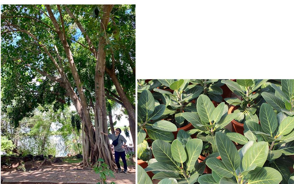 アフリカで育つフィカス・ベンガレンシス(左)。日本でも身近な観葉植物(右)だが、原産地に近い場所では、鳥もたくさんとまる立派な大木に。