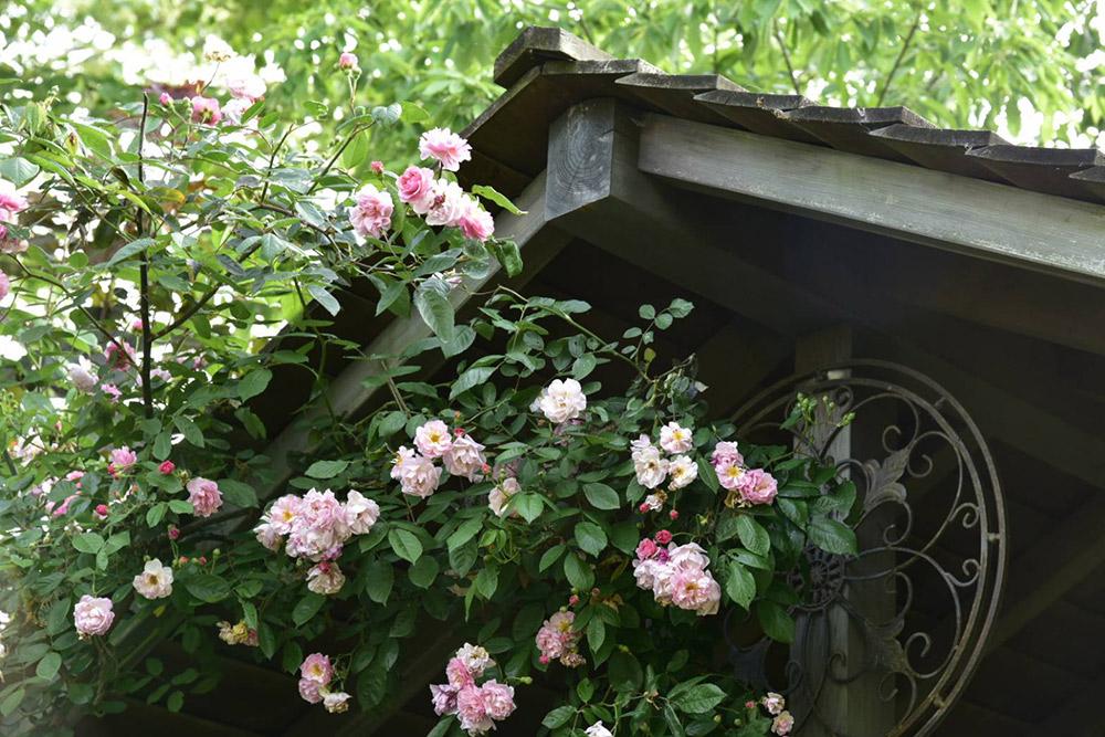 ガーデンショップ「フェアリーガーデン」のオールドローズ