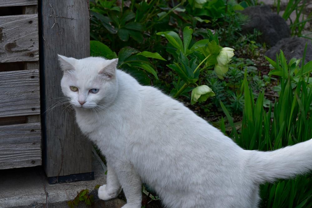 ガーデンショップ「フェアリーガーデン」の猫