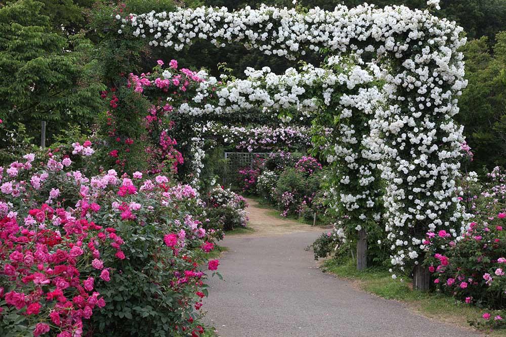 京成バラ園のバラのアーチ