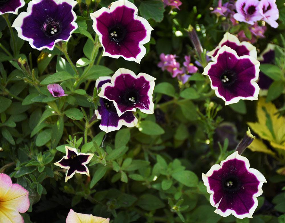 黒花のペチュニア