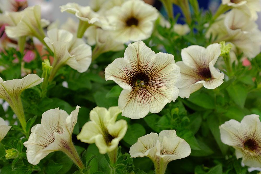 ペチュニアプレミアムコレクション'カプチーノ'(発売/M&B Flora)