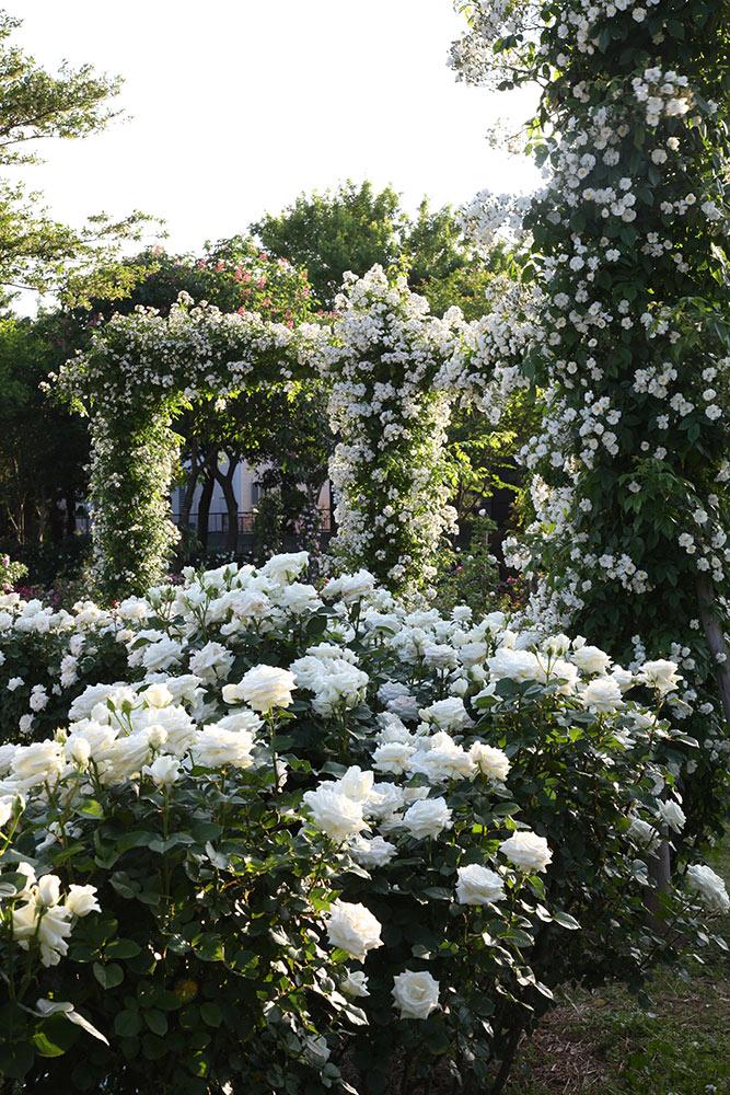 京成バラ園の白バラ