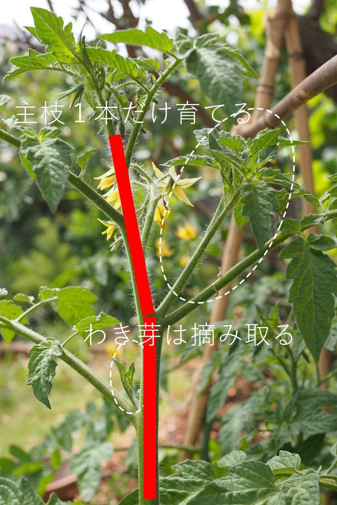 """ミニトマト栽培は、主枝を1本で育てる""""一本仕立て""""と呼ばれる方法で育てましょう。"""