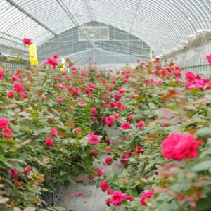 食べられるバラ新品種「24」の開発とこだわりがつまった「ローズリップ美容液」[ROSE LABO通信 Vol.6]