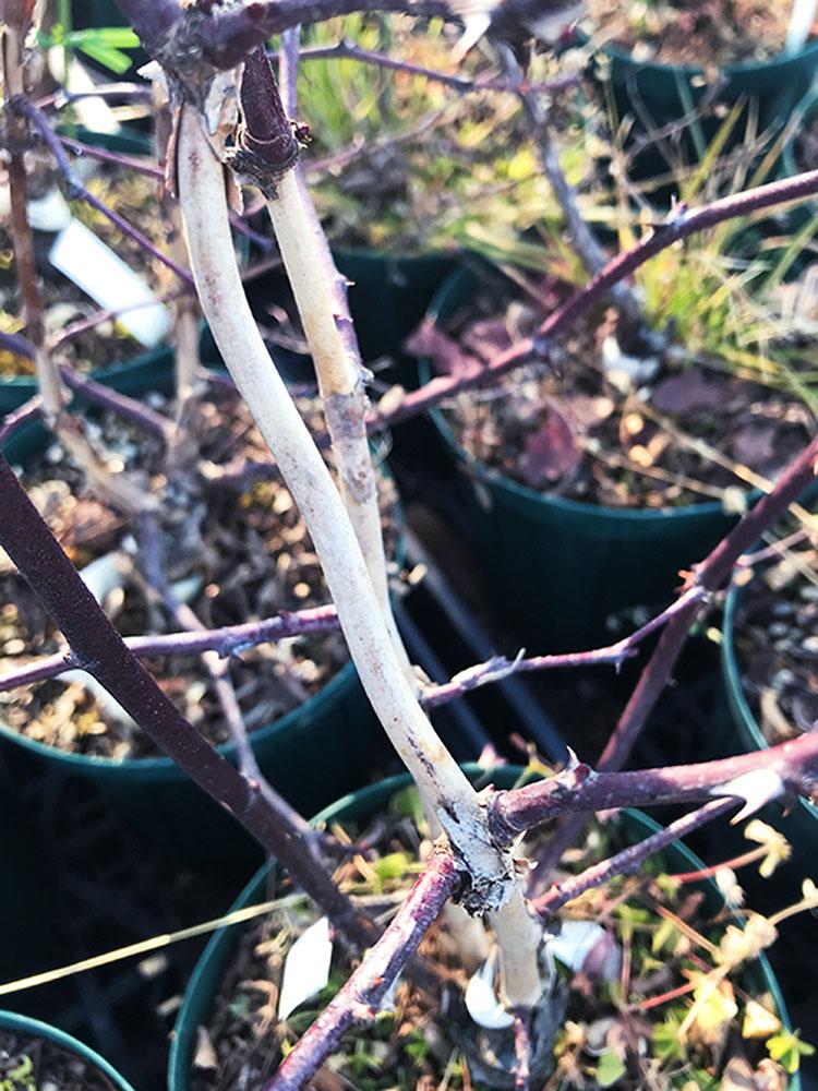 冬のイザヨイバラの枝