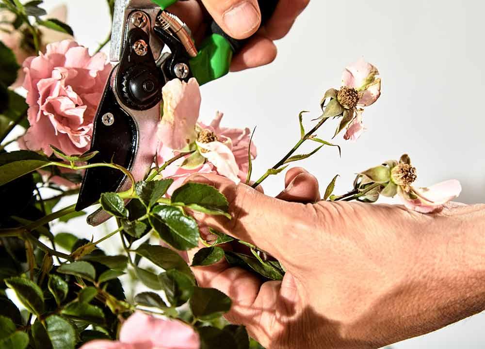 バラの花後剪定