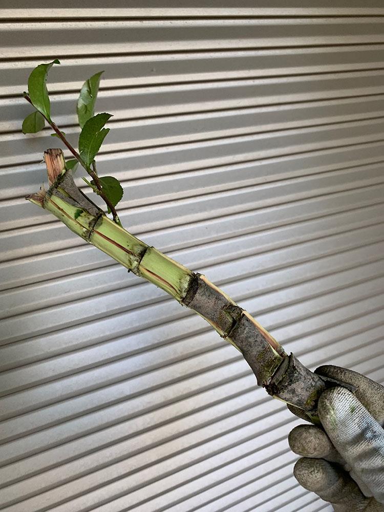柔らかい枝
